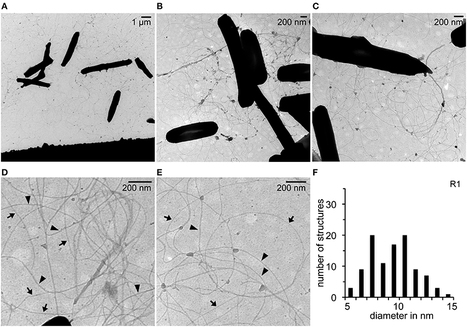 Novel pili-like surface structures of Halobacterium salinarum strain R1 are crucial for surface adhesion | Archaeal surface structures | Scoop.it