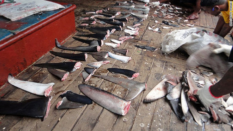 More airlines ban shark fin cargo | All about water, the oceans, environmental issues | Scoop.it