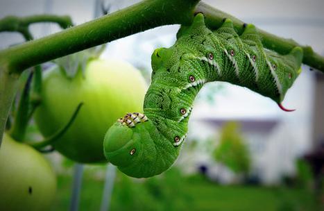 Organic Garden Pest Control -- What Works, and What Doesn't? - Treehugger | El español en nuestro rincón del mundo | Scoop.it