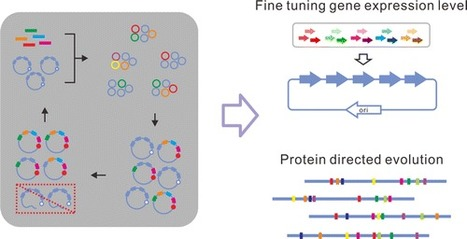 Multiplex Iterative Plasmid Engineering for Combinatorial Optimization of Metabolic Pathways and Diversification of Protein Coding Sequences | SynBioFromLeukipposInstitute | Scoop.it